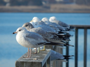 seagulls in a row.jpg